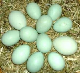 """,,ჩემმა ქათამმა დღეს ცისფერი კვერცხი დადო"""" - უნიკალური თვისებების მქონე პროდუქტი"""