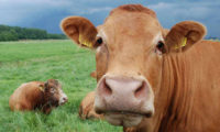 ძროხები მოიპარეს