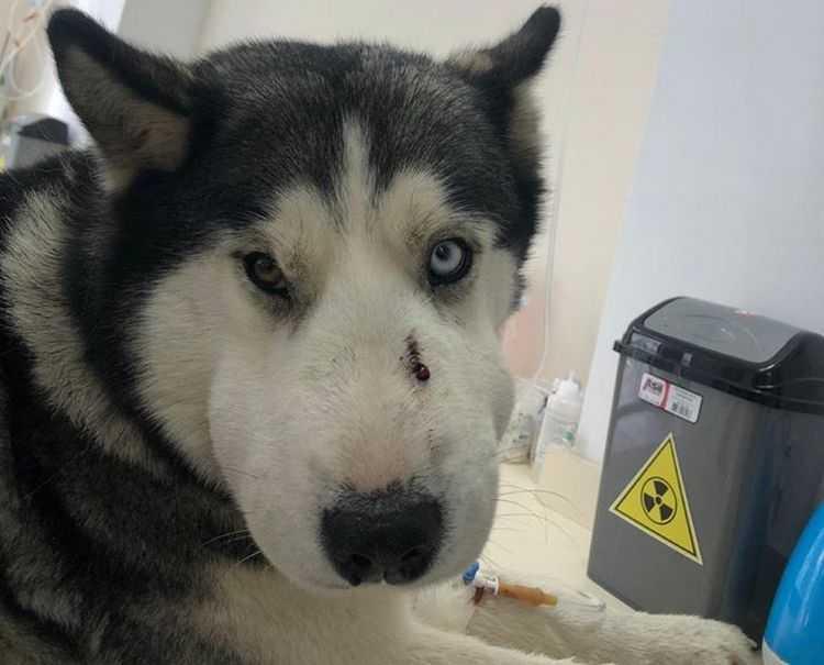 """ვახტანგ ლომჯარია: ,,ამ ძაღლმა ტაბახმელაში 5 წლის ბავშვი გადაარჩინა, ჰასკის მდგომარეობა ძალიან რთული იყო"""""""