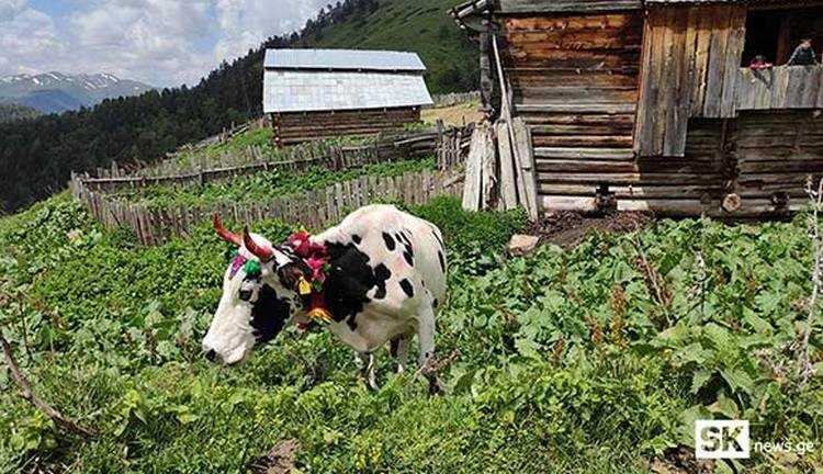 ადიგენში ძროხების სილამაზის კონკურსი ჩატარდა